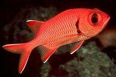 menpachi hawaiian squirrelfish