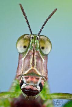Monkey Grasshopper -   Eumastacidae # - The ethology of emotions and empathy