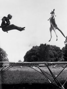 """June 7, 1960. Gaining some extra spring in her step, """"Victoria,"""" a giant red kangaroo, displays perfect forms as she bounces on a trampoline. Trying to outbounce her is George Nissen, a developer of the equipment that's shaking them up. Photograph by Bettmann/Corbis."""