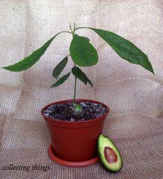 avocado ofic 2