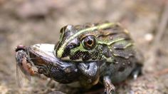 Kermit the Cannibal? Frogs Sometimes Eat Each Other