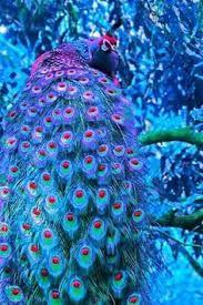 Картинки по запросу pink peacock bird