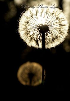 Dandelions lit by the sunlight Dandelion Light, Graphic Design Services, My World, Twilight, Dandelions, Flowers, Plants, Dandelion