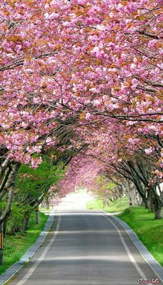Road between Splendid Cherry Blossom Wallpaper Beautiful Roads, Most Beautiful Gardens, Beautiful Flowers Garden, Flowers Nature, Beautiful Places, Beautiful Pictures, Beautiful Landscape Wallpaper, Beautiful Flowers Wallpapers, Beautiful Landscapes