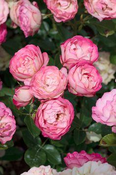 "Rose "" Acropolis ""MEILLAND International | Rosiers de Jardin | Grandes fleurs"