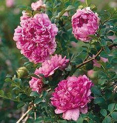 Chestnut Rose- Carefree Rose- Shrub 5 to 7' high and wide-reblooms