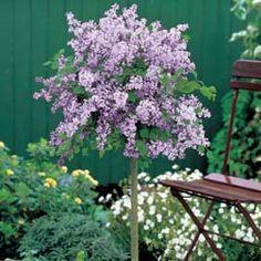 Lilac - Dwarf Standard