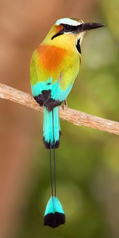 The Turquoise-Browed Motmot inhabits Central America from SE Mexico (mostly the Yucatán Peninsula) to Costa Rica, where it is common. Don't you love the pretty little drop feather dangling? Pretty Birds, Love Birds, Beautiful Birds, Animals Beautiful, Animals Amazing, Small Birds, Nature Animals, Animals And Pets, Cute Animals