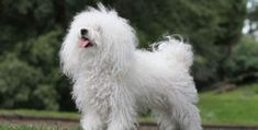 Are you wondering what the best small dog breeds for an apartment are? Since small dogs take up less space, many apartment dwellers prefer the smaller dog breeds. Here are 32 small dogs who make great companions for those who live in apartments or condos. Small Family Dogs, Best Small Dogs, Cute Small Dogs, Dog Breeds That Dont Shed, Tiny Dog Breeds, Havanese Dogs, Pet Dogs, Dogs And Puppies, Yorkies