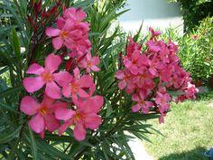 Így vágd vissza a leandert Exterior, Garden, Flowers, Plant, Ideas, Garten, Lawn And Garden, Gardens, Outdoor Rooms