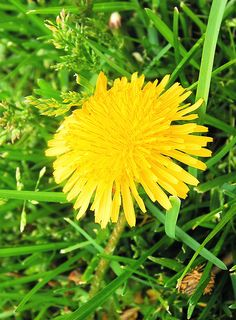 They say that the buds of young dandelions have a flavor similar to mushrooms when they are sautéed in butter. My yard is veritable gold-mine for these, so I may have to try this out :) I would not recommend trying your dandelions if you yard gets chemically treated.  scientific name: taraxicum oficinalus