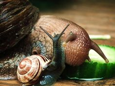 Giant African land snail and your common UK garden snail