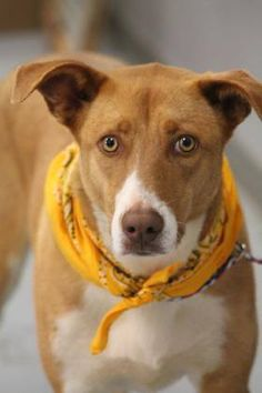 ADOPTED>NAME: Riley  ANIMAL ID: 31029320  BREED: Retriever  SEX: female (spayed)  EST. AGE: 1 yr  Est Weight: 55 lbs  Health: heartworm neg  Temperament: dog friendly, people friendly.  ADDITIONAL INFO: RESCUE PULL FEE: $35  Intake date: 3/8  Available: Now