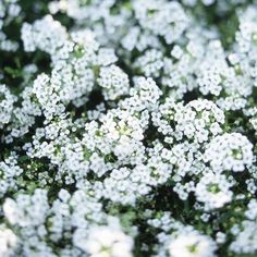 Known for its carpet of lightly fragrant flowers in white, rose, lavender, or purple, sweet alyssum is an easy-to-grow, low-maintenance cool-season annual. Rarely growing more than 6 inches tall and 1 foot wide, sweet alyssum is a good addition to edgings, beds, rock gardens, hanging baskets, and window boxes. Name: Lobularia selections