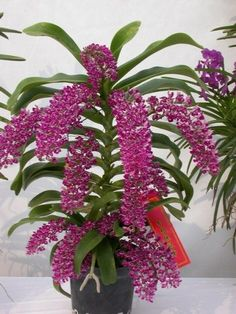 ✿ ❤ Orchid: Rhynchostylis gigantea 'Spot' - Species from Southeast Asia Grown.