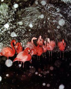 Flamingos in the snow