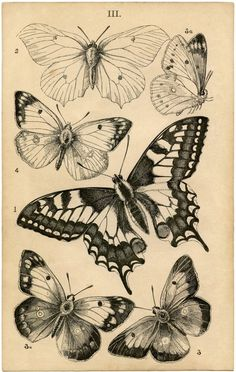 Vintage Butterfly Sketch I Canvas Artwork by June Erica