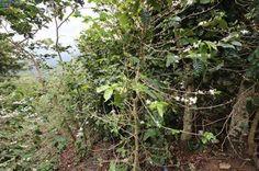 Más de 50,000 familias afectadas por crisis del café http://www.rural64.com/st/turismorural/Mas-de-50000-familias-afectadas-por-crisis-del-cafe-5304