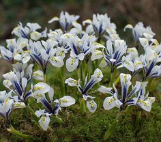 This delightful garden gem produces exquisite snow-white flowers with deep blue markings and a brilliant yellow blaze that spills onto each fall.