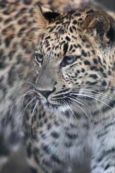 ..Leoparden küsst man nicht by Paco de la Luz..