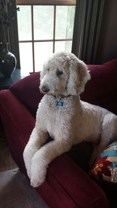 Jack is posing like his pal Bosley. He is waiting for Grandma to arrive..... #Poodles