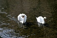 Swans - Swans, beautiful and regal animals - Mozzanica, Bergamo, Italy. Swans, Italy, Animals, Beautiful, Italia, Animales, Animaux, Animal, Animais