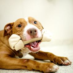 Larry, Pit Bull - Available for adoption from @ASPCA NYC. Bone given by Jennifer Day • thedogist.com/giveadogabone