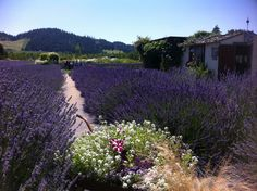 Flowers, oh such lovely and fragrant flowers! Makes my heart Smile and skip a beat! #lavenderfarm #organic #hoodriver #lovely #flowers #aroma #calming #oregon #summer