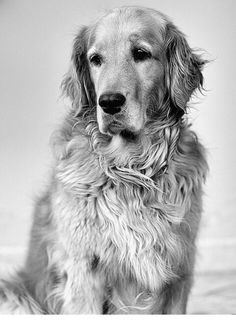 Astonishing Everything You Ever Wanted to Know about Golden Retrievers Ideas. Glorious Everything You Ever Wanted to Know about Golden Retrievers Ideas. Golden Retrievers, Chien Golden Retriever, Beautiful Dogs, Animals Beautiful, Cute Animals, Animals Dog, Wild Animals, Baby Dogs, Dogs And Puppies