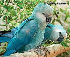 Spix Macaw at Al Wabra Wildlife Preservation (AWWP) is a private conservation and endangered species breeding-center located in the Arabian gulf State of Qatar. Animals And Pets, Baby Animals, Cute Animals, Pretty Birds, Beautiful Birds, Extinct Birds, Camelus, Rare Birds, Colorful Birds