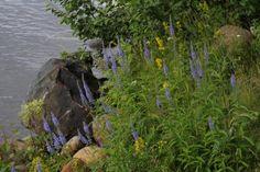 Veronica longifolia / rantatädyke
