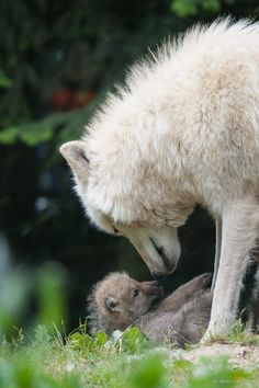 Wolves - mother and baby - A little moment of complicity between the mother and her baby wolf. Power Animal, My Animal, Bear Animal, Wolf Spirit, Spirit Animal, Baby Animals, Cute Animals, Funny Animals, Wild Animals