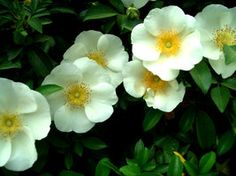 cherokee rose | cherokee rose no 1 by stringy cow 3 comments more like this