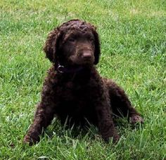 Curly coated retriever pupy