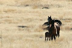 The little Kiger family again, with the new new newbie and its mama, being watched over and protected by a spirited Kiger stallion! Oct 2014