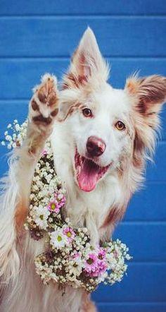 HIGH FIVE 💙💖💛💙💖💛 Border Collie Cinni #dog cute funny #by Bianca Kothe on www.boredpanda.com