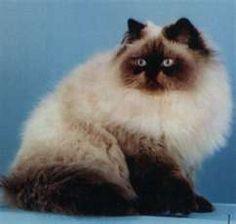 Himalayan cat. Looks my late gizmo :(