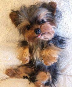 Baby Animals Super Cute, Super Cute Puppies, Cute Little Puppies, Cute Dogs And Puppies, Baby Puppies, Cute Funny Animals, Baby Dogs, Corgi Puppies, Yorkies