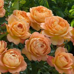 Lady of Shalott - English Rose Climbers - English roses - bred by David Austin