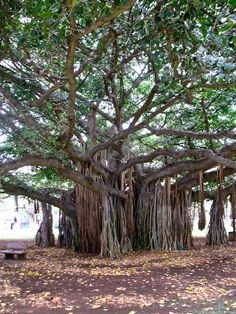 Banyan Tree - this one is outside the entrance to the Honolulu Zoo. I have pictures of Scotty Josh and I in this tree with the elephants Hawaii Life, Oahu Hawaii, Hawaii Travel, Banyon Tree, Honolulu Zoo, The Giving Tree, Unique Trees, Nature Tree, Tree Forest