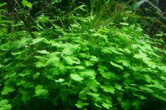 "Hydrocotyle cf. tripartita (H. sp. ""Japan"")"