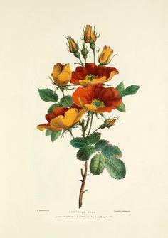 Austrian Rose, Bartholomew, Valentine (1799-1879) (Artist)