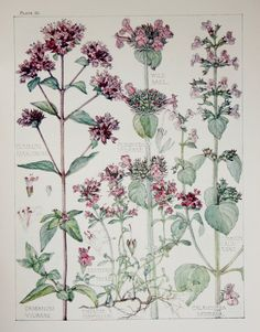 1910 Botanical Print by H. Isabel Adams: Dead-nettle Family, Common Marjorum, Wild Basil, Common Calamint, Mountain Thyme