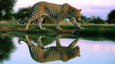 cheetah desktop wallpaper pictures free