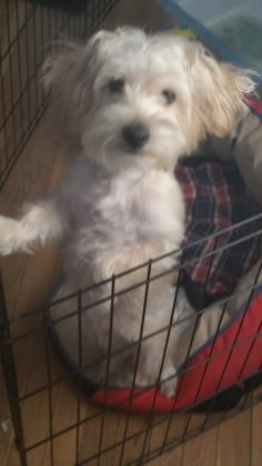 Gizmo                Name : Gizmo  Animal ID : 25136983  Breed : Maltese / Terrier, YorkshireLearn more  Age : 9 months 1 day  Gender : Male  Color : Tan / Brown  Spayed/Neutered : No  Size : Small         Pet Memo  If you think you have found this pet, please contact Washington Humane Society at (202) 576-6664