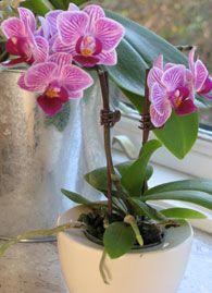 Få flere blomster på din orkide | Boligen i øvrigt | Boligen | Indoor Garden, Indoor Plants, Flower Power, Wallpaper, Creative, Tips, Flowers, Gardening, Inspiration