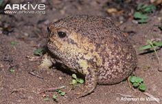 giant toad | Giant rain frog photo - Breviceps gibbosus - G25511 - ARKive