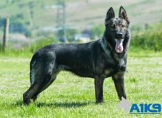 Iza, training to become a Sable German Shepherd, Training, Dogs, Animals, Coaching, Animales, Animaux, Pet Dogs, Fitness Workouts