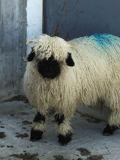 Cute little Swiss sheep
