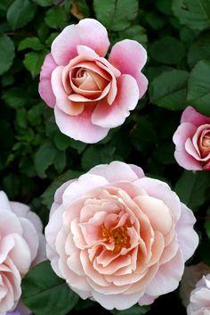 Rose 'Distant Drum'